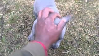 Some Blue nose pitbull training basics 8 Weeks old