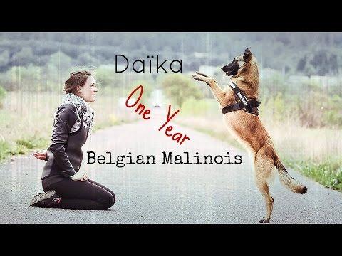 Daïka, Malinois Dog Tricks [One Year]