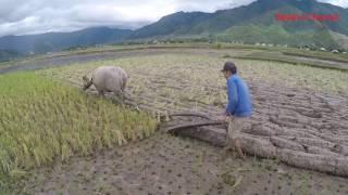 เยี่ยมยามคนไตในเวียดนาม EP15: เบิ่งควายไถนา ที่เมืองถ่าน วิถีชีวิตเเละนาเพินงามหลาย