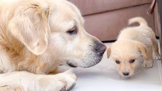 Golden Retriever Meets a Puppy like himself