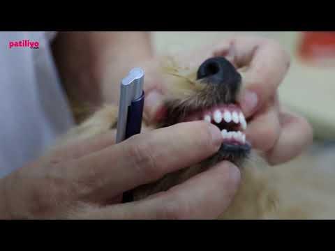 Köpeklerde Diş Dökülmesi