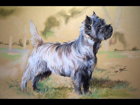 Cairn Terrier Grooming tutorial by Mieke Jansen