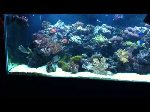 My Pair Crosshatch Trigger Fish