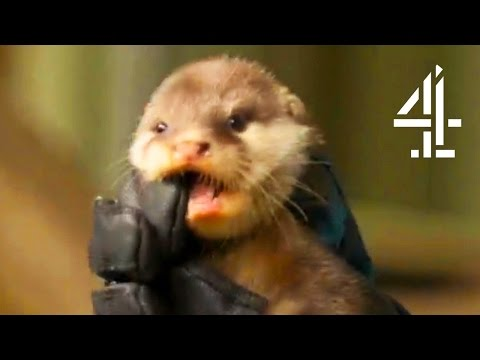 The Baby Otters Meet The Babirusas | The Secret Life Of The Zoo