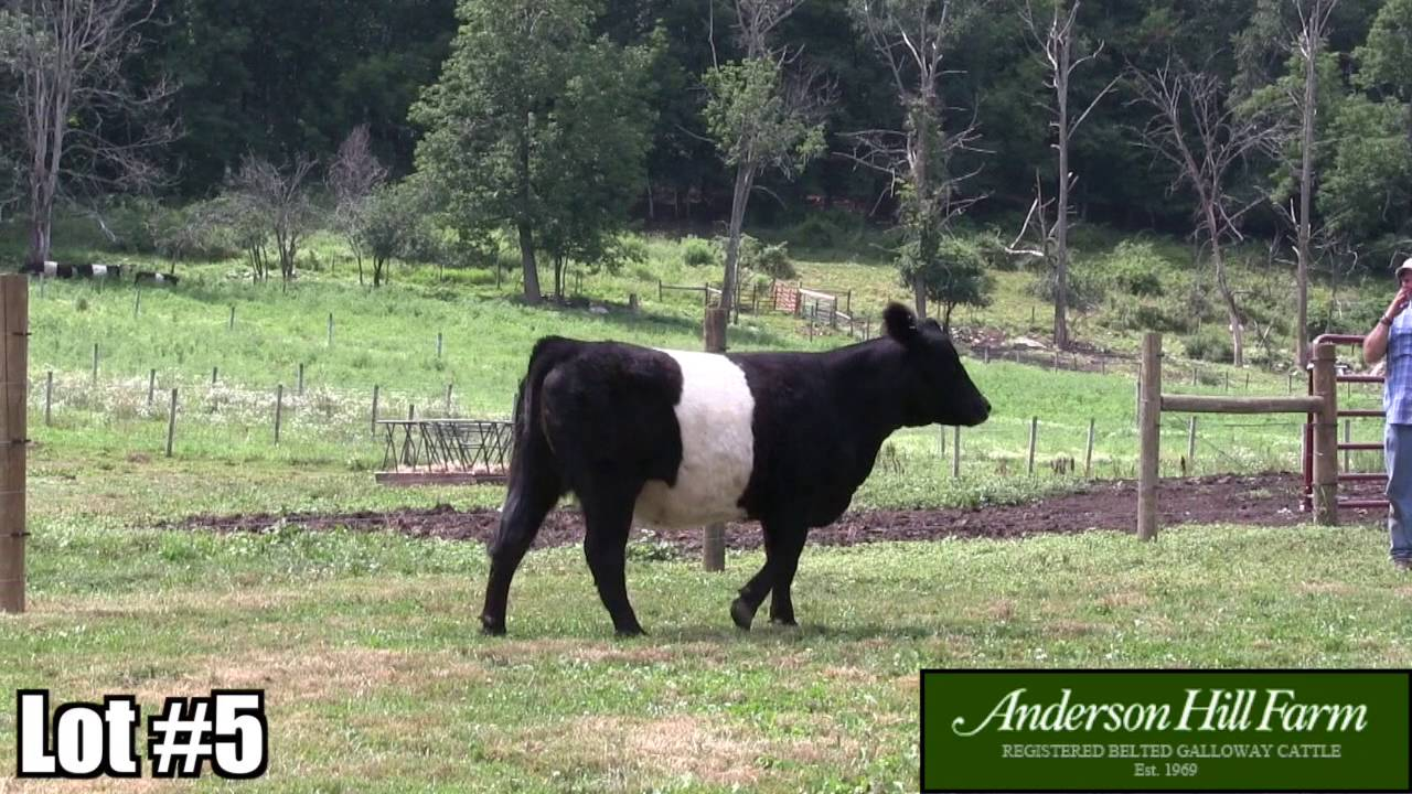 Registered Belted Galloway Cattle Anderson Hill Farm