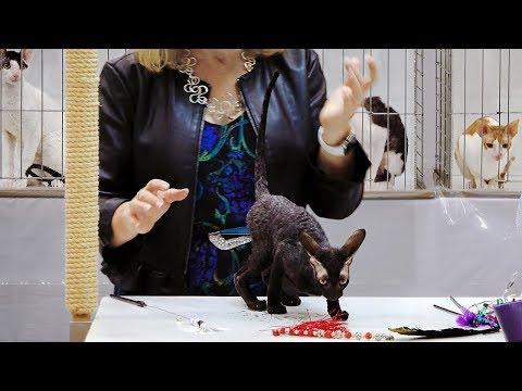 CFA International Show 2018 - Cornish Rex kitten class judging
