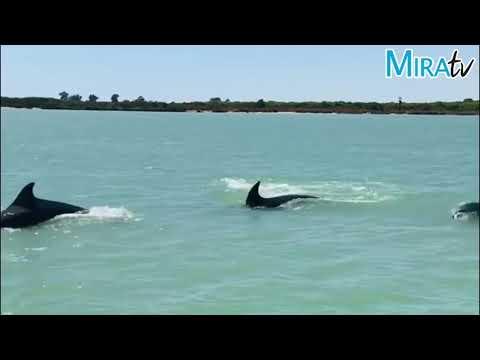 Espectacular baile de delfines por el Río Guadalquivir a su paso por el Coto de Doñana