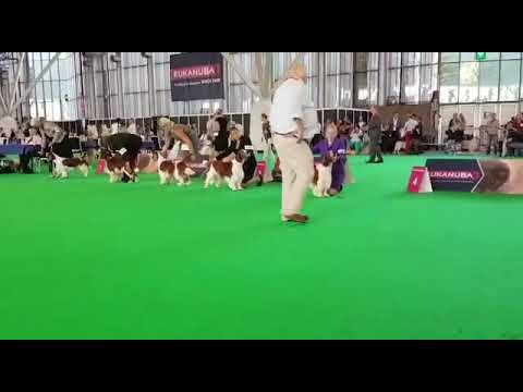 Welsh Springer dog lineup wds 2018