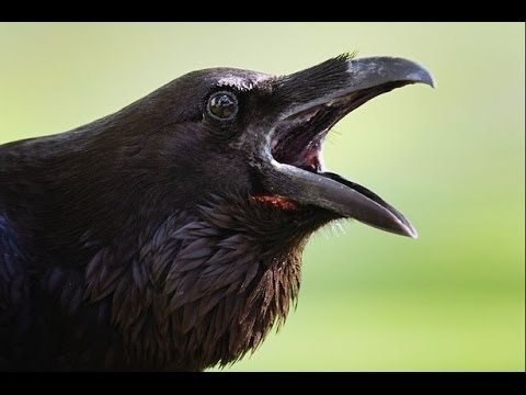 Science Documentary   -   Inside The Animal Mind   Crow Documentary