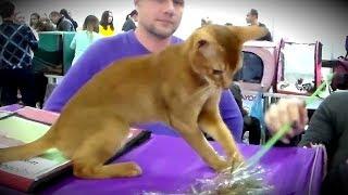 Абиссинская Кошка КРАСАВИЦА - Игривое и МИЛОЕ Животное | ПОРОДЫ КОШЕК