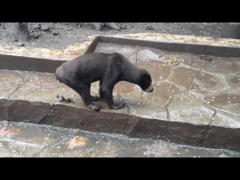 Very sad. Sun Bears at Bandung Zoo look very thin and starving. Sun Bears eat their own dung