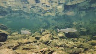 Saving the wild Atlantic Salmon