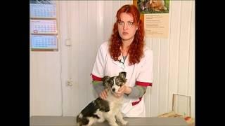 Смена зубов у щенков(, 2013-06-17T16:45:16.000Z)