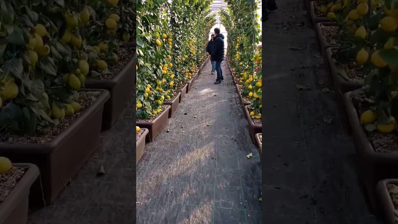 Limon Bahçesi oluşumu ✅0️⃣1️⃣