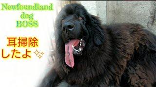 HELLO  NewfoundlanddogBOSS(✌・᷅ὢ・᷄ )✌ パパに耳掃除してもらったよ✨✨ ...