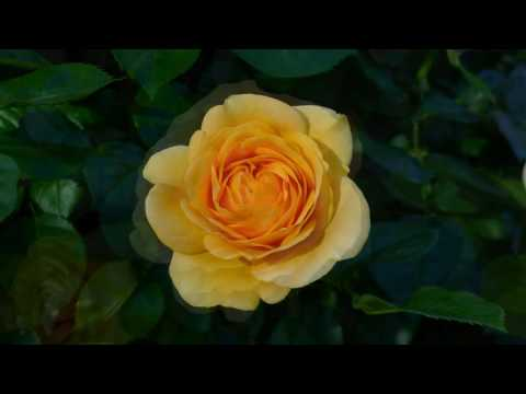 LOVING ROSES - BRIAN CRAIN - ADAGIO CON AMORE - WITH THE PRAGUE SYMPHONY