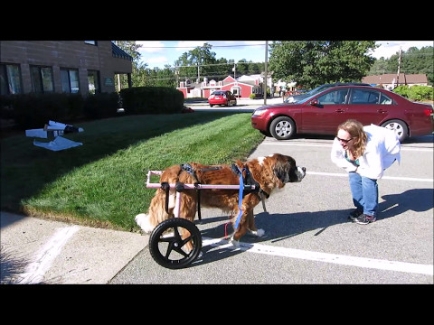 🥇10 Best Dog Wheelchair to Buy in (August 2019) - Buyer's Guide