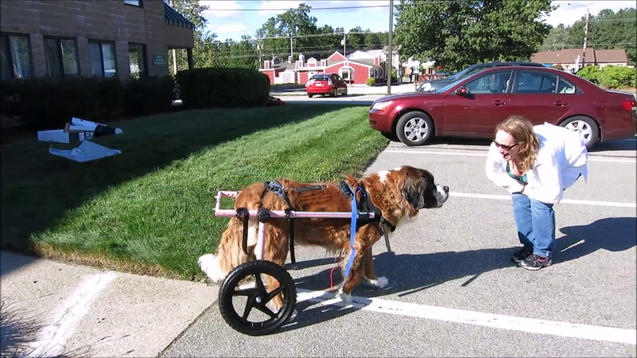 Wheel Chairs For Dogs Christmas Chair Back Covers Uk Large Walkin Wheels Dog Wheelchair Compilation Video Youtube
