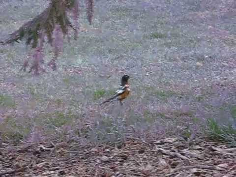 Microattention: Leucistic Pied American Robin Foraging