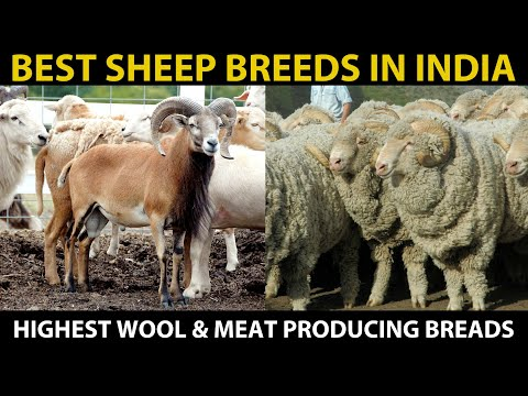 Best SHEEP BREEDS in India | Highest MEAT & WOOL Producing Sheep Breeds | SHEEP FARMING in India