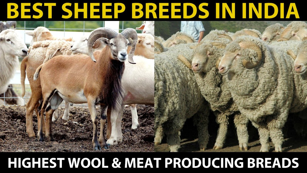 Download Best SHEEP BREEDS in India | Highest MEAT & WOOL Producing Sheep Breeds | SHEEP FARMING in India