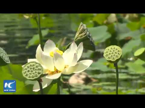 Lotus festival featuring Chinese culture held in LA