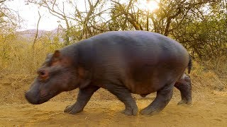 Two Orphan Hippos Are Hand Raised | BBC Earth