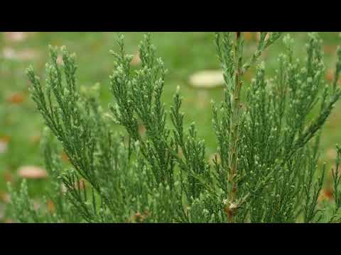 Grow a Giant sequoia From Seed :-)