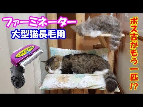 大型猫の長毛種にファーミネーターを使った結果、とんでもない事に!As a result of using a Furminator for a large cat with long hair