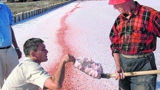 Крымская розовая соль! Технология добычи соли из бассейнов придумана в 30-х советскими учеными.