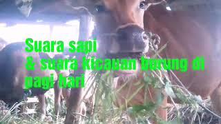 Video Suara sapi & kicauan burung di pagi hari download MP3, 3GP, MP4, WEBM, AVI, FLV November 2018
