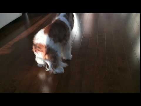 Cavalier King Charles Booty Shaking | Funny Dog | Herky the Cavalier