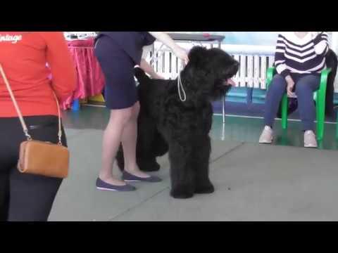 русский чёрный терьер, выставка собак