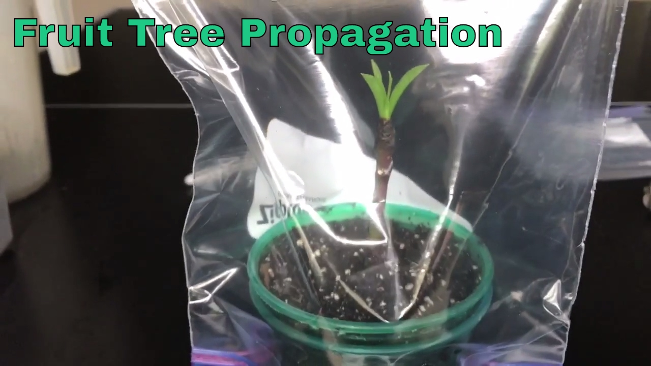 Propagated Fruit Tree Cuttings Update And Test