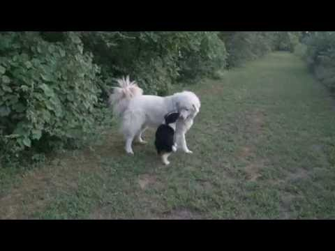 English Shepherd Pup Pulls Adult Maremma Sheepdog in Circles