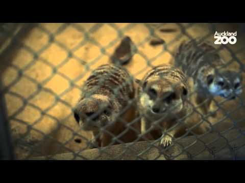 Thumbnail: Zoo Tales - Meet our carnivores and their keepers!