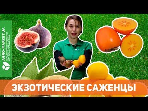 Экзотические саженцы | Хурма, инжир, киви, лимон и много других сортов | Agro-Market.ua