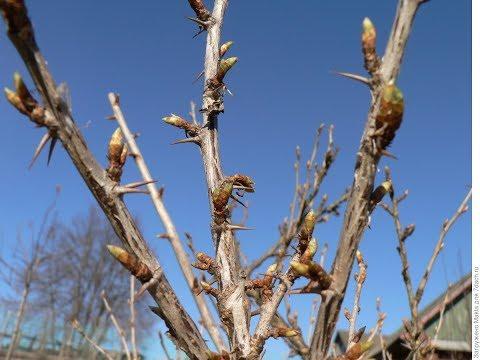 Что делать с крыжовником весной чтобы получить хороший урожай?! Уход за крыжовником.