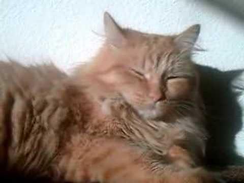 Tilly the cream tabby cat