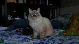 Невская маскарадная кошка (6,5 месяцев)
