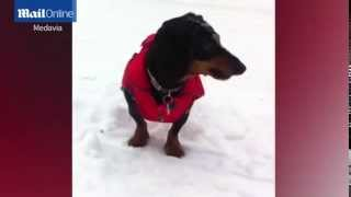 Dachshund Through The Snow! Meet The Sausage Dog Who Loves Nothing More Than Playing On The Slopes