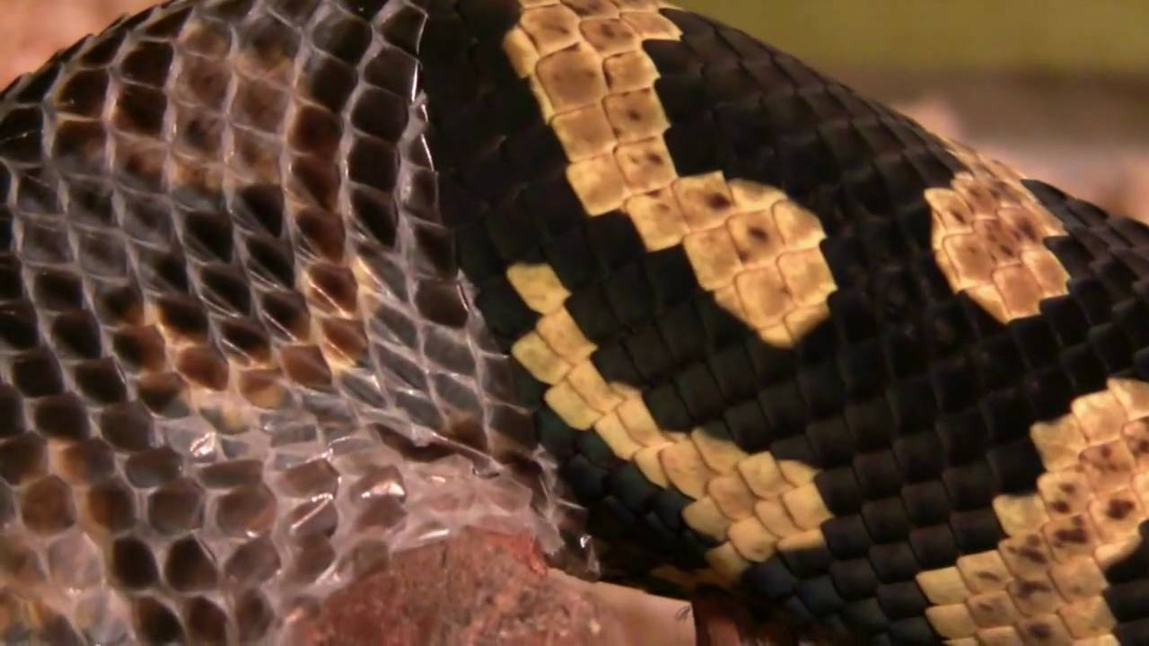 Jungle Carpet Python Shedding (HD)  YouTube