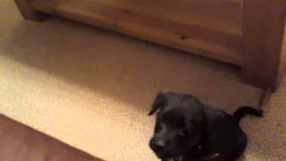 Patterdale Cross Border Terrier Playing - 9 Weeks