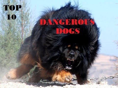 TOP TEN MOST DANGEROUS DOG BREEDS IN THE WORLD