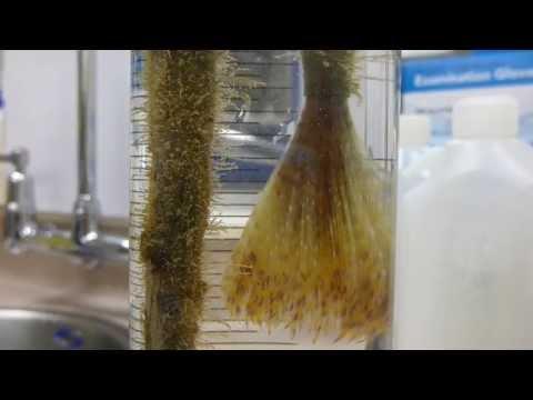 Mediterranean fanworm (Sabella spallanzanii) in a large test tube