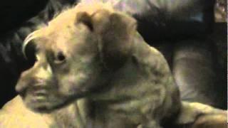 Shih Tzu-lab Mix Dogs