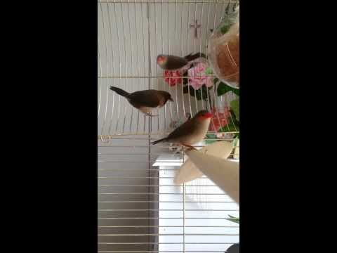 My Orange Cheek Waxbill Finches and one of my Society Finches #2