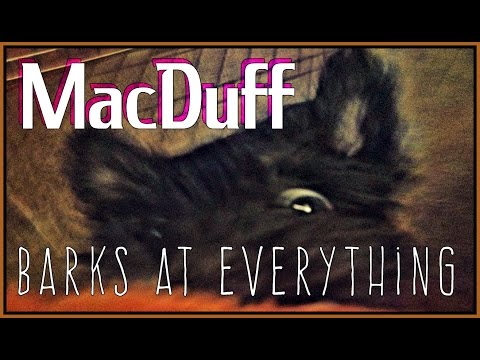 MacDuff The Scottish Terrier Barking Supercut