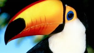 Тукан Токо. Экзотическая птица с красивыми глазами