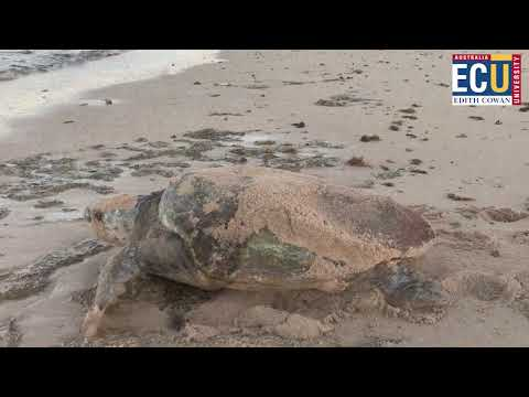 Research into predation of sea turtles by ghost crabs along the Ningaloo coast from YouTube · Duration:  5 minutes 54 seconds